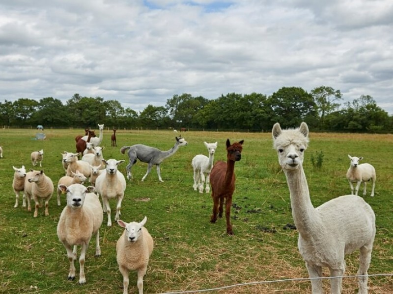 Alpacas Yorkshire Cottage