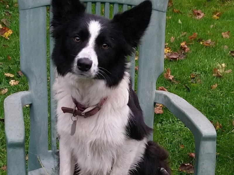 Nell, our resident Border Collie
