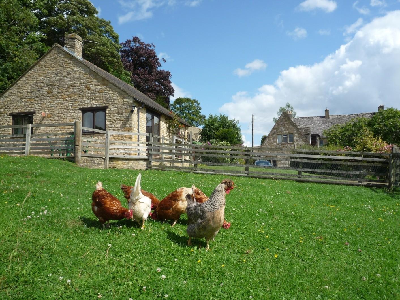 Hens near Swingletree