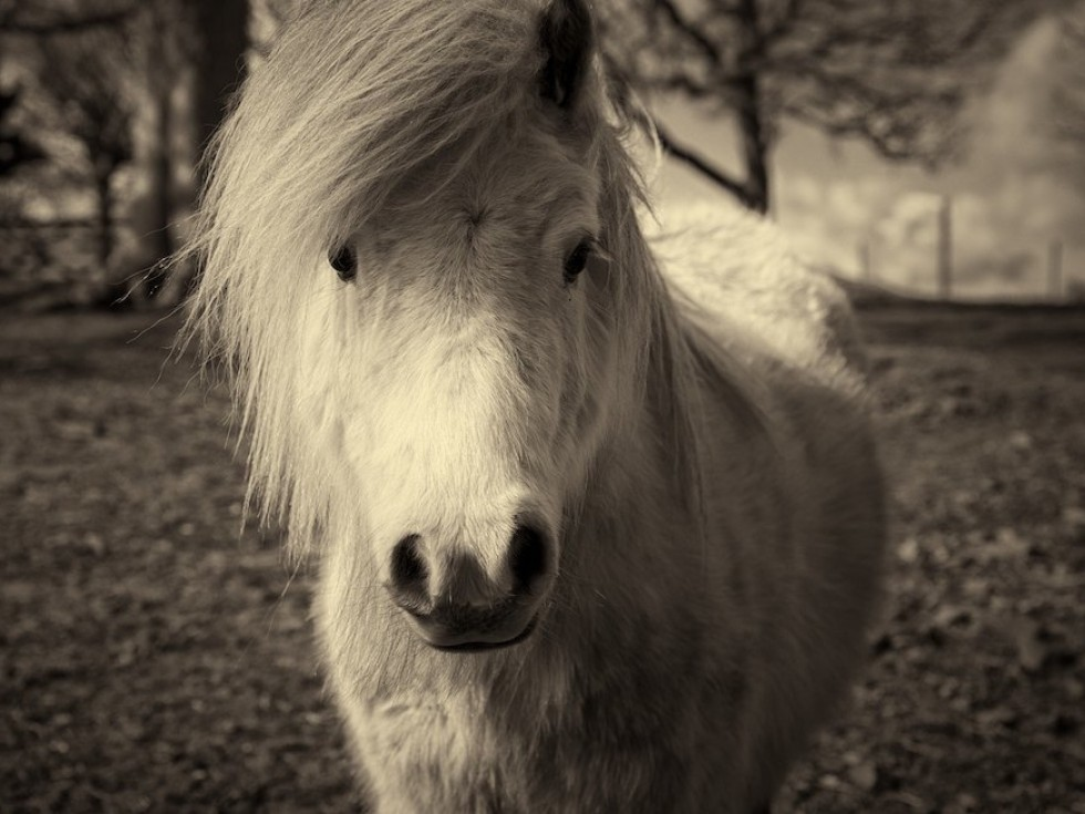 Ben - one of our lovely Shetland ponies