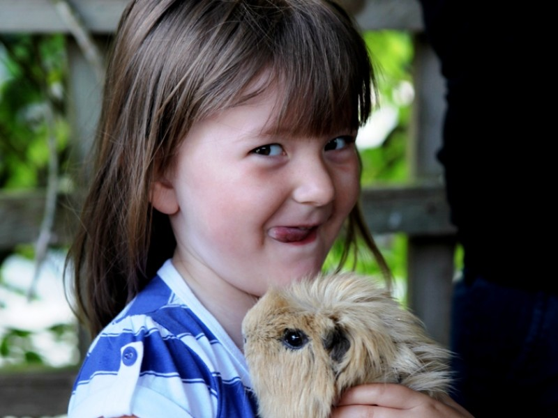 Guinea pigs to stroke and feed at Polean Farm