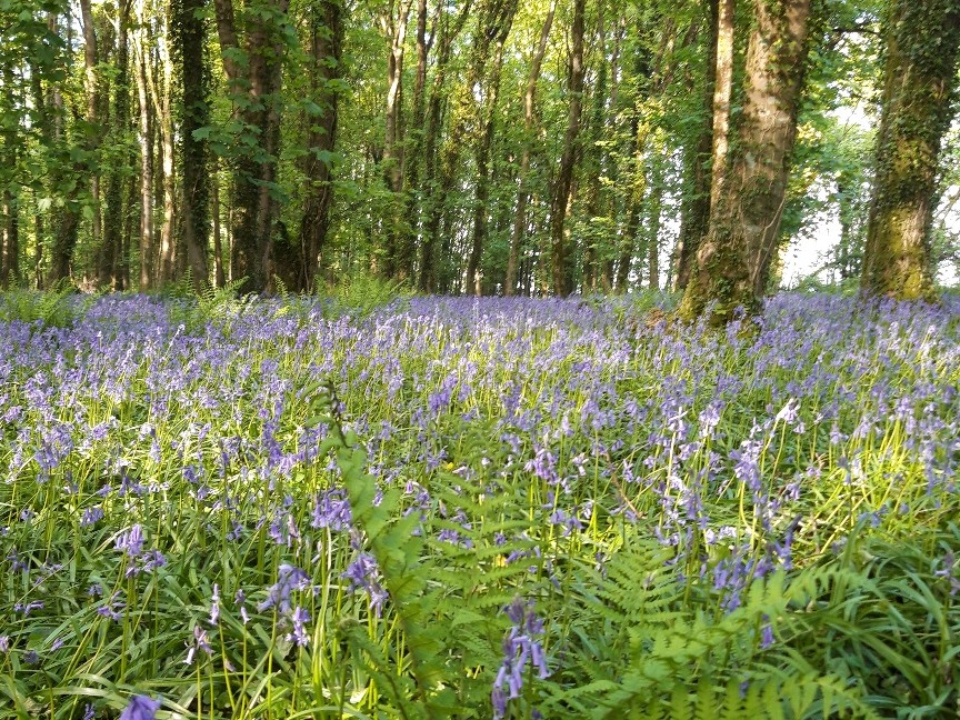 Bluebell Woods above Dove House