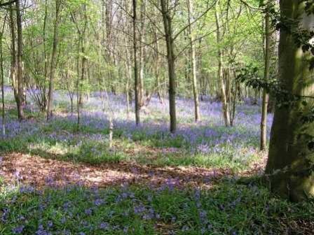 Bluebells in Sisland Carr
